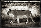 Young Lioness walking in Etosha NP Namibia
