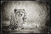 Cheetah in the mountains of Khomas Hochland Namibia