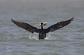 Great Cormorant fishing on the water PN Djoudj Senegal
