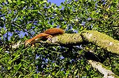 Red Squirrel jumping from branch Forest of Fontainebleau ; There are fruits in the mouth