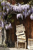 Wisteria in bloom and tray in front of a barn