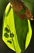 Shadow of a sprig of lily of the valley flowers in Lorraine France