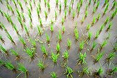 Young shoots of rice in a rice field in Thailand ; The Karen live mostly in the village of rice cultivation, horticulture and ecotourism. Elevation : 1500 m