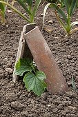 Cucumber seedling protected by two tiles in a kitchen garden