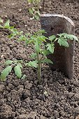Tomato seedling protected by a tile in a kitchen garden