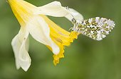 Orange Tip on a wild Daffodil