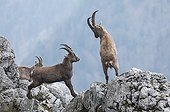 Simulation of combat between two young male Alpine Ibex