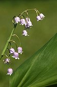 Pink Lily-of-the-valley