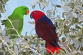 Eclectus parrot male and female on a branch