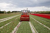 Cut flowers of tulip bulbs for growing France