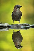 Eurasian Jay and its reflection Hungry