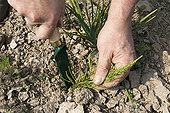 Hand weeding horsetails with a weeding knife
