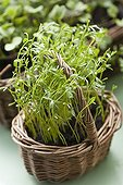Lentils growing in a basket on a balcony