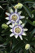 Passionflower in bloom in a garden