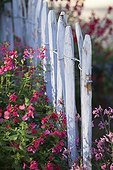 Sage in bloom against a fence in a garden