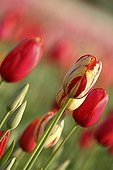 Field of Tulips in bloom in spring Provence France