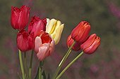 Bouquet of Tulips in bloom in spring Provence France