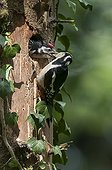 Great Spotted Woodpecker feeding its chick France