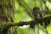 Young Pygmy Owl on a branch Jura France