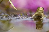 Young Natterjack Toad a reed Indre France