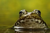 Portrait of a Lowland Frog in a freshwater spring France