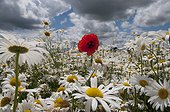 Poppy and Daisy flowers in the spring France  ; Production of flower seeds