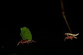 Leafcutter ant in forest French Guiana