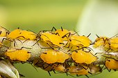 Oleander aphids in autum France
