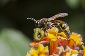 Potter wasp with prey in autumn France