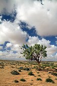 Roostertree in the Sahara Morocco
