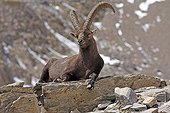 Ibex lying on a rock Ecrins Alps France