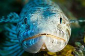 Portrait of Sand Diver on the reef island of Dominica