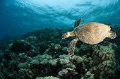 Hawksbill turtle swimming over the reef in Red Sea Egypt