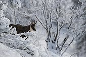 Alpine Chamois in the snow Jura France