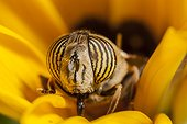 Hoverfly eating in a flower France