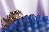 Jumping spider immature male on blue daisy France
