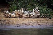 Jaguar lying on his back on the bank Pantanal Brazil