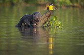 Giant otter eating a fish in water Pantanal Brazil