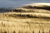 Forest of spruce trees with mist at sunrise Gaspesie Canada