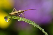 Bug and dew on a blade of grass PNR Northern Vosges France