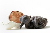 Goura Sclater newborn and egg on white background