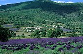 Lavender Field in Provence France flowers