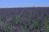 Lavender flowers Field Provence France