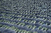 Dried bouquets of lavender flowers in Provence France