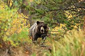 Grizzly female in bushes Canada