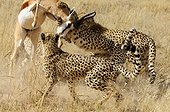Cheetahs catching a Springbok Kgalagadi South Africa  ; The cheetah family tries to control their prey struggling as she can.