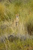 Cheetah in the tall grass of the Kgalagadi South Africa