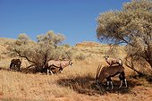 Oryx grazing in the dunes Kgalagadi South Africa