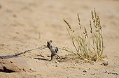 Climbing Mouse catching a grass Kgalagadi South Africa