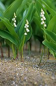 Lily of the valley flower in the Nantes region France  ; Plants 2 years